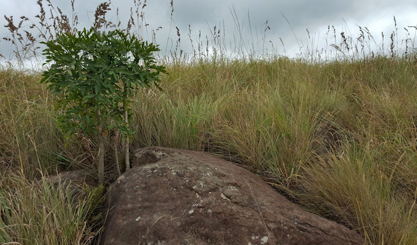 Cabbage tree growing next to a rock in the veld
