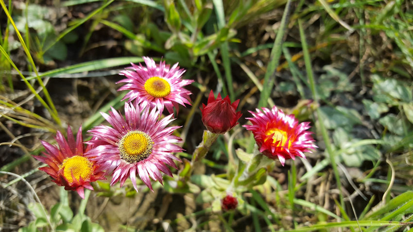 Everlastings in the veld