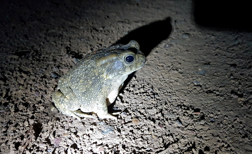 Frog on the road, used my torch to light him up when doing late night sheep rounds
