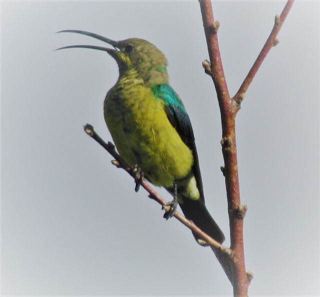 Male malachite sunbird in eclipse