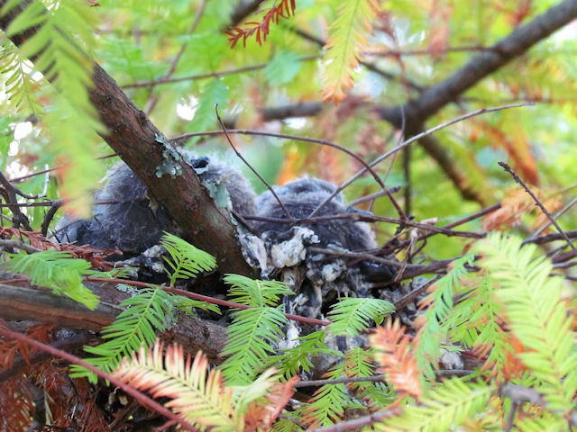 CAPE TURTLE DOVE CHICKS ABOUT 8 DAYS OLD
