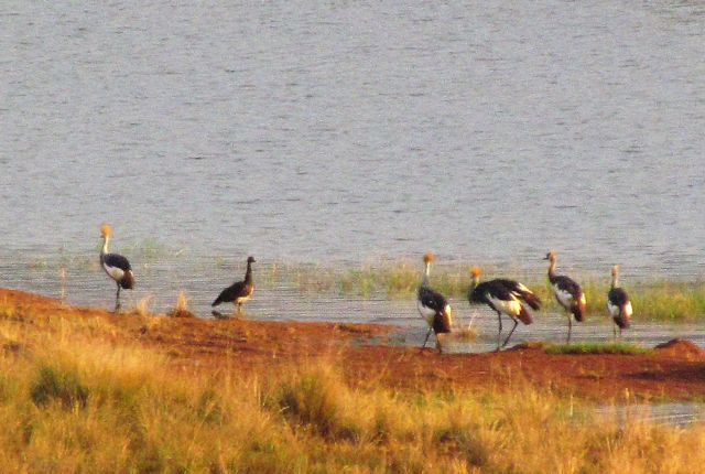 5 CROWNED CRANE AND SPURWING