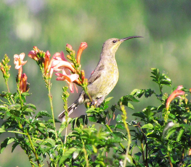 Female amythest sunbird?
