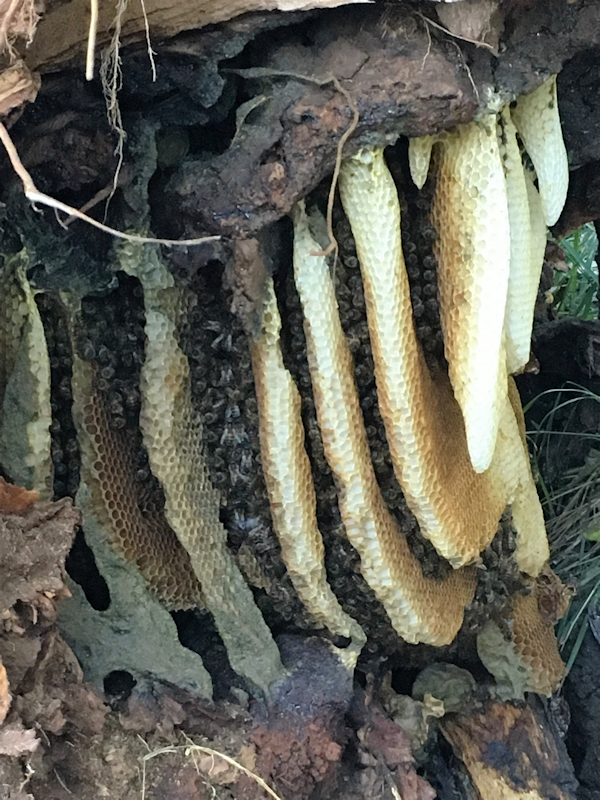 Bee hive in wattle tree