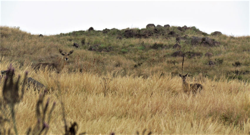 Mother and calf reedbuck