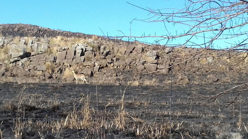 Reedbuck and burned grassland