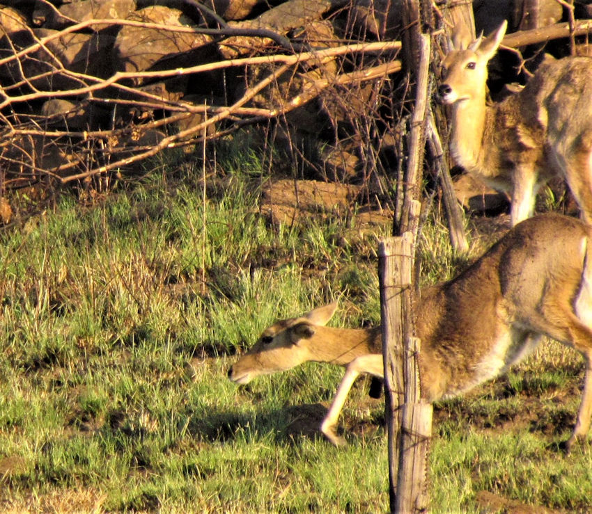 Reedbuck squeezing through fence