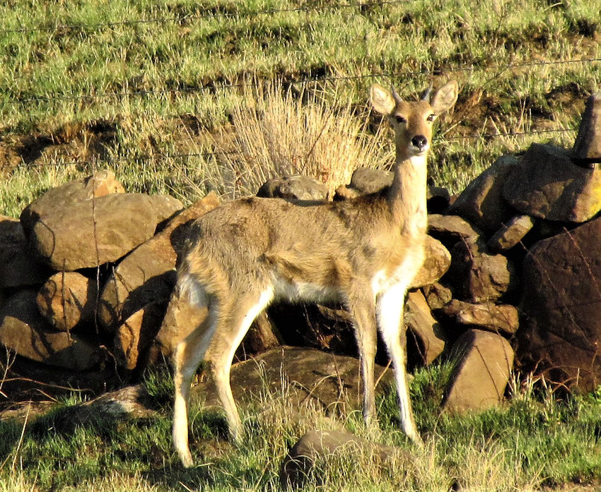 Young male reedbuck