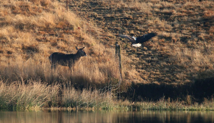 Waterbuck and Fish Eagle meet