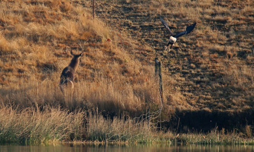 Both Waterbuck and Fish Eagle get a huge fright