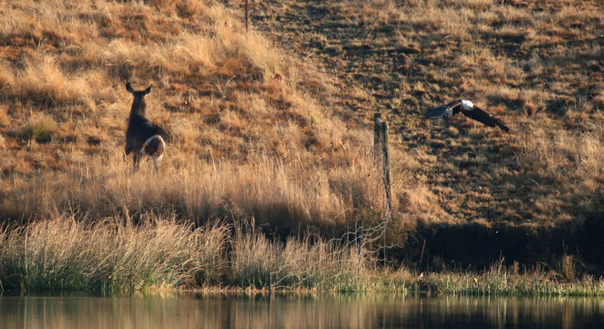 Waterbuck and Fish Eagle head in opposite directions