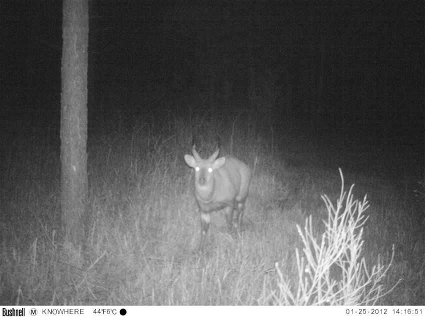 Bushbuck capture on trailcam