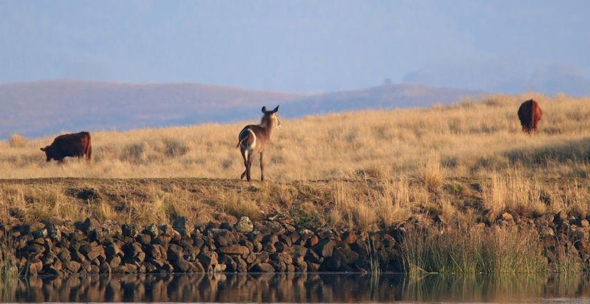 Waterbuck on farm dam wall