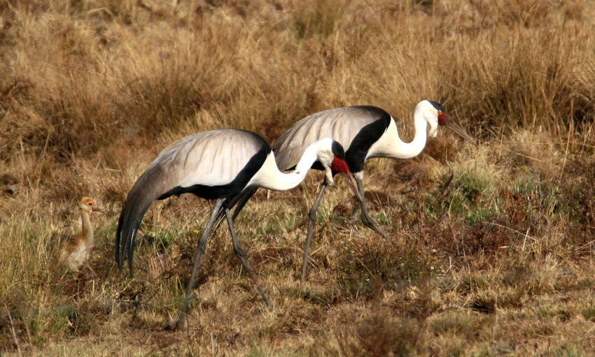 Wattled crane with chick