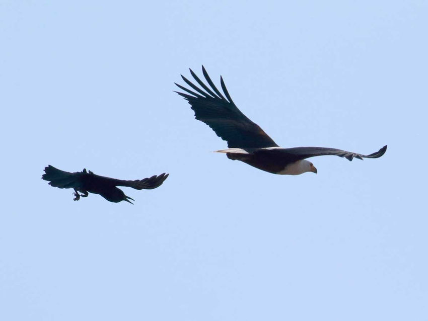 Cape crow and fish eagle