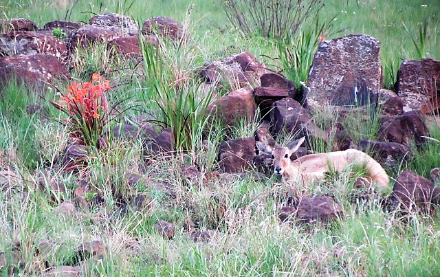 Young reedbuck doe in a rock garden of spring watsonias