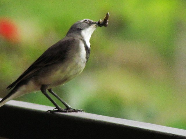 Wagtail with food for chicks