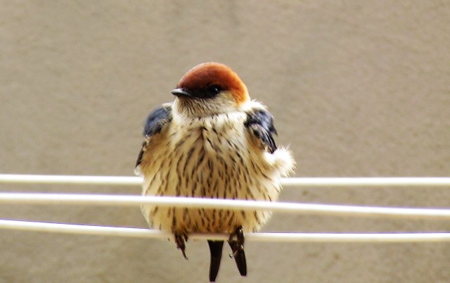 Lesser striped swallow sitting on wash line