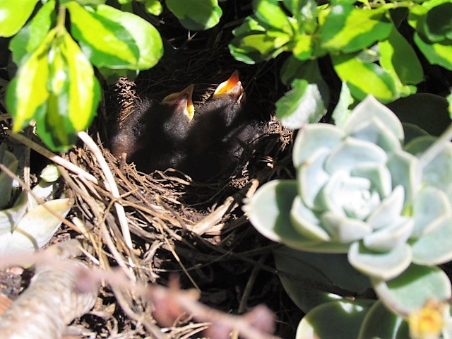 Cape Robin-Chat chicks