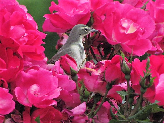 Wagtail chick in my rose bush