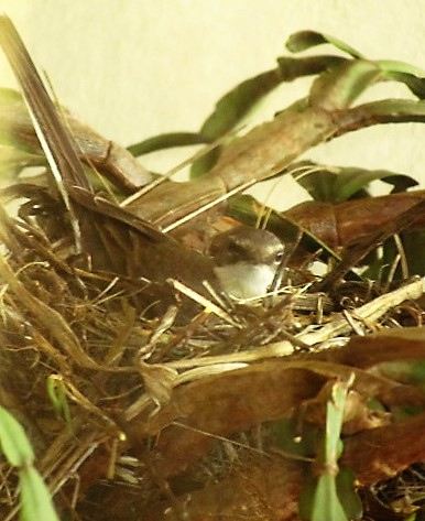 Wagtail mom sitting once again on new nest