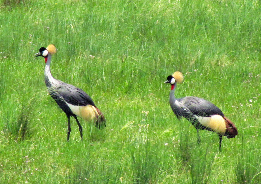 A pair of Crowned Cranes