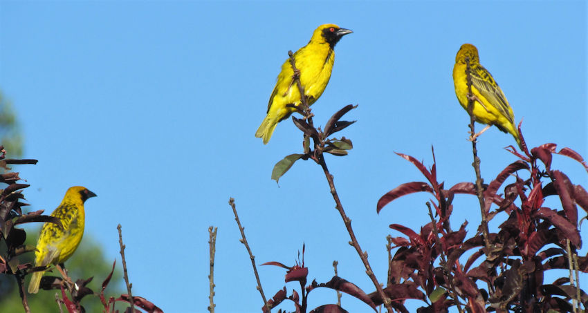 Southern Masked or Spotted Backed Weavers