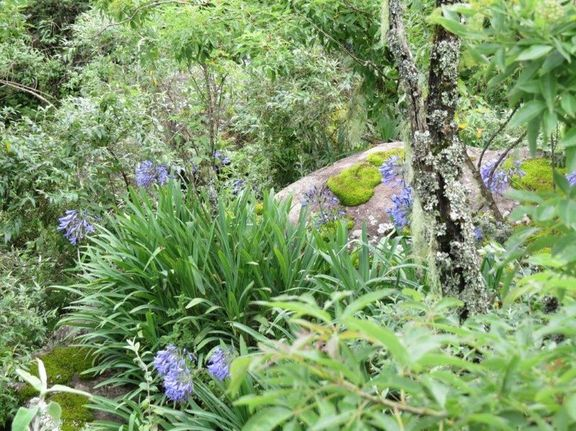agapanthus and moss