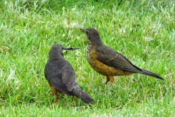 Mother  olive thrush trying to feed fledgling with some strange black stick like thing