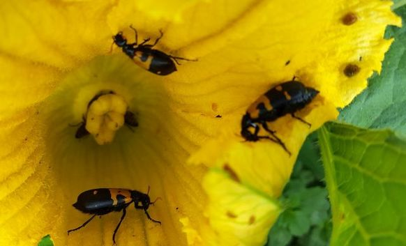 Beetles eating pumpkin flower