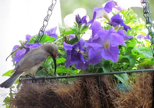 Female sunbird pulling coir out of hanging basket to make nest