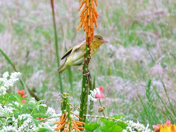 CAPEWEAVER EATING FROM KNIPHOFIA