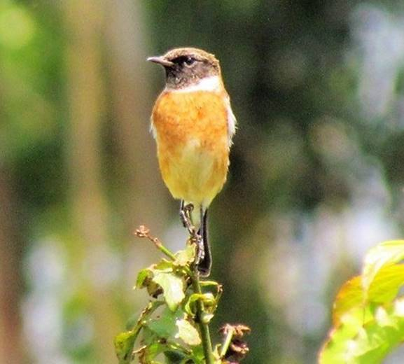 Female or juvenile common stonechat