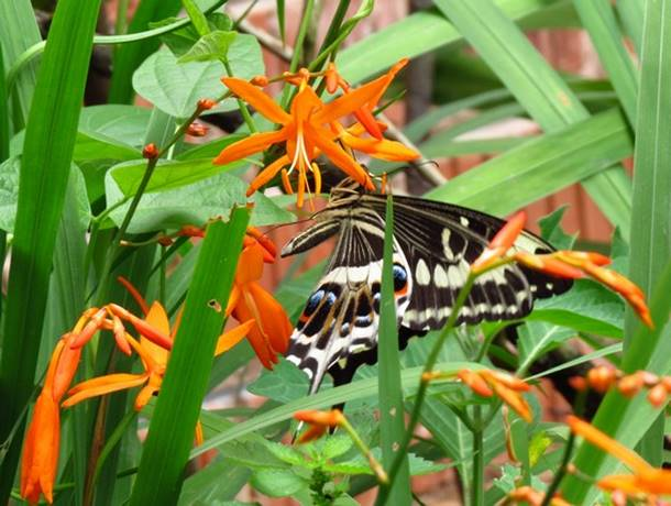 butterfly and crocosmia